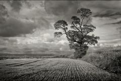 Old Maple Tree Nr Easton